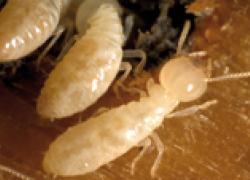 Termites : Comment protéger efficacement les bâtiments