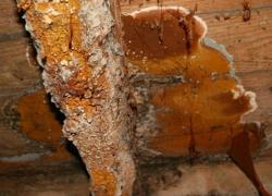 Quand la mérule attaque un bâtiment rénové