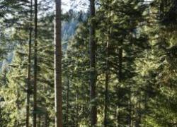 Histoire du sapin (1) : le roi des forêts veut retrouver son trône