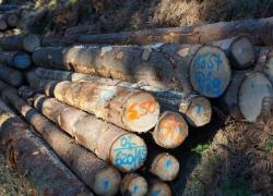 Histoire du sapin (2) : le résineux veut jouer la carte du bois-collé