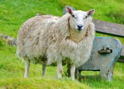 La laine de mouton n'a pas dit son dernier mot
