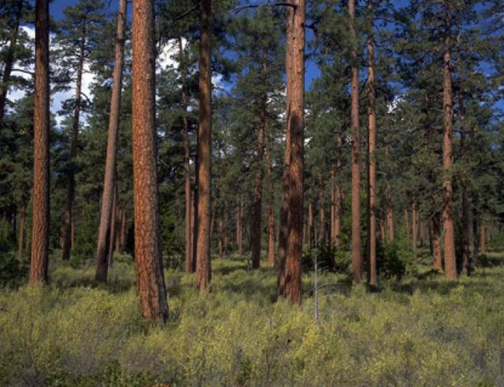 La production des pins Douglas pourrait tripler d'ici 20 ans