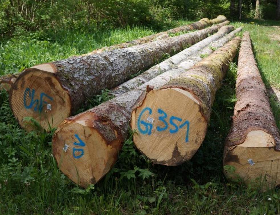 Histoire du sapin (6) : La vérité sur le roi des Forêts… en France